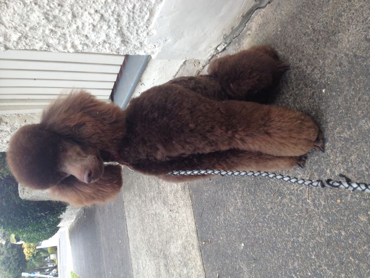 """#poodle #chocolate #standard """"Issy's new 'big girl' clip"""""""