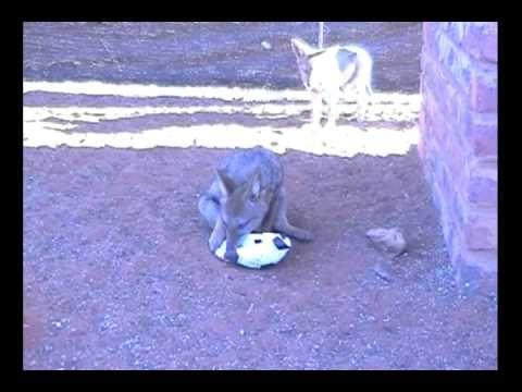 Jackal pups play soccer at the Kalahari Raptor Centre.