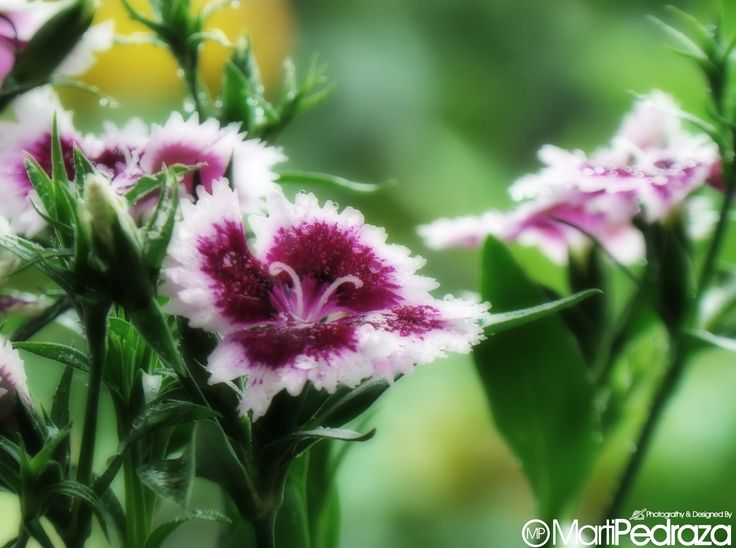 """Clavelinas... Su nombre cientifico es """"dianthus barbatus"""". La denominacion generica deriva de una expresión griega que significa """"flor de Zeus"""" o """"flor divina"""". Las flores son pequeñas y tienen un suave aroma.  Se puede regalar esta flor como símbolo de amistad. En el lenguaje de las flores, clavelina significa """"ligereza"""""""