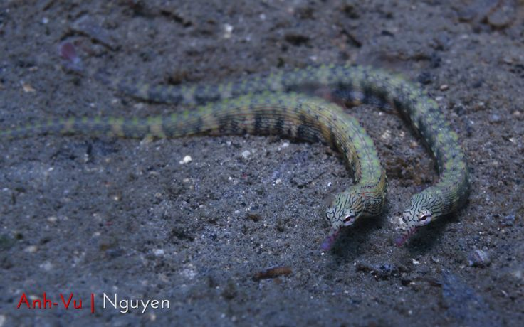 Pipefishes in love