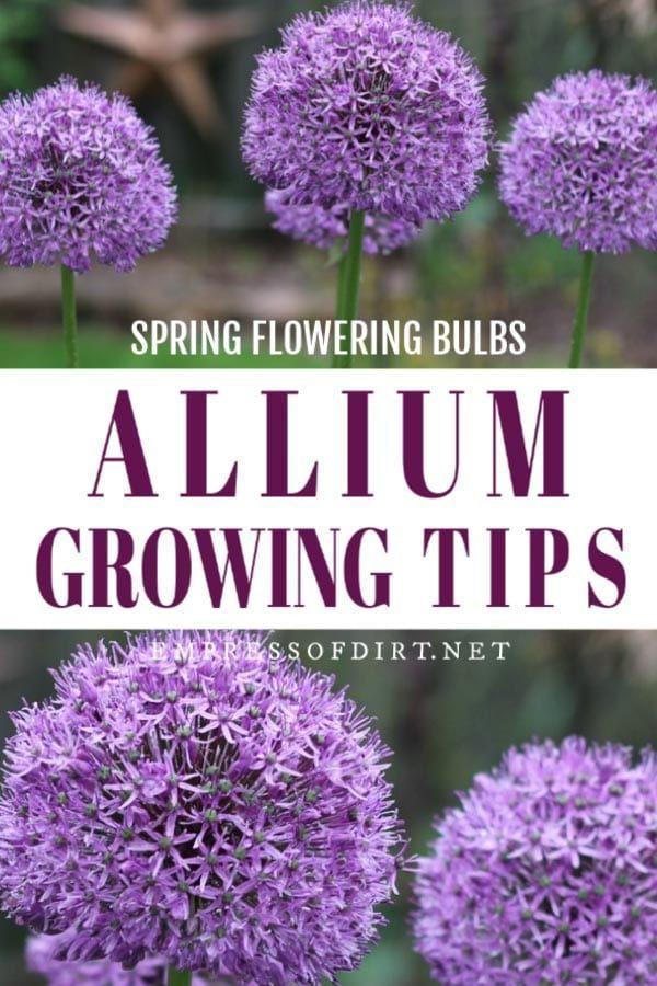 Allium Growing Tips Diy Garden Art Project In 2020 Spring Flowering Bulbs Allium Flowers Bulb Flowers