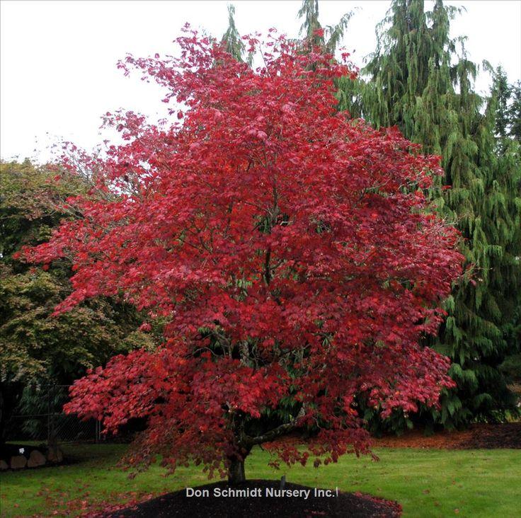 Acer japonicum 'Aconitifolium' | Wholesale Nursery Supplies & Plant growers in Oregon | Nursery Guide