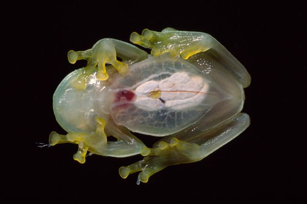 The reason why Hyalinobatrachium bergeri are called glass frogs becomes clear in this picture. Their venter (the undersurface of the abdomen) is translucent and it's possible to see the organs, even the beating heart. PHOTO: © Steffen Reichle