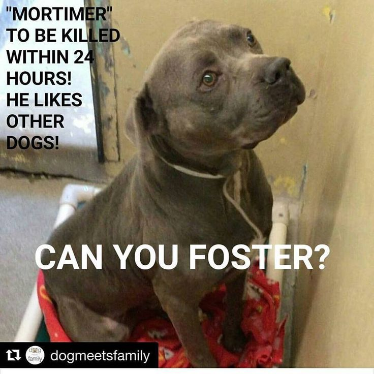 "●1•11•18 SL● •♡•CALIFORNIA•♡• ■■URGENT!■■ 12/28/17 Downey, CA || TO BE KILLED! SWEET DOG FRIENDLY MORTIMER-ID #A5130497||MALE-4-YEAR-PIT BULL TERRIER I've Been At The Shelter Since November 15, 2017."" + + + + + + + + + + + + + + + + + + ""MORTIMER""- LOVES OTHER DOGS!- TO BE KILLED TODAY!- #A5130497- HE IS HIDDEN FROM MAINSTREAM WEBSITE, AS HE HAS AN UPPER RESPIRATORY INFECTION! & THEY KILL FOR THAT!! Phone: 1-(562)-940-6898"