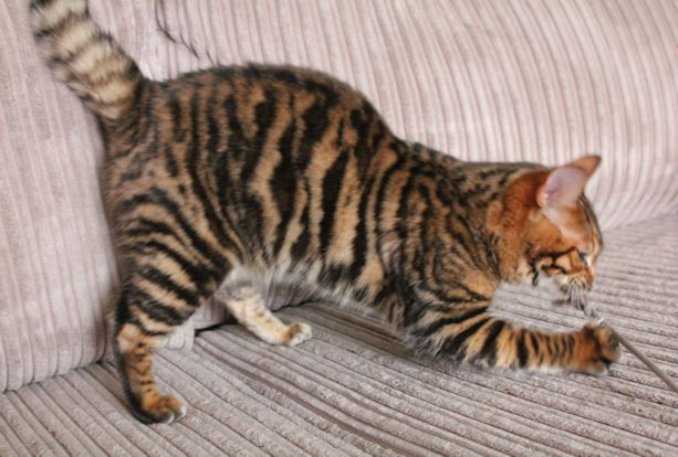 Queenanne Cats Availablity of Bengal and Toyger Cats in