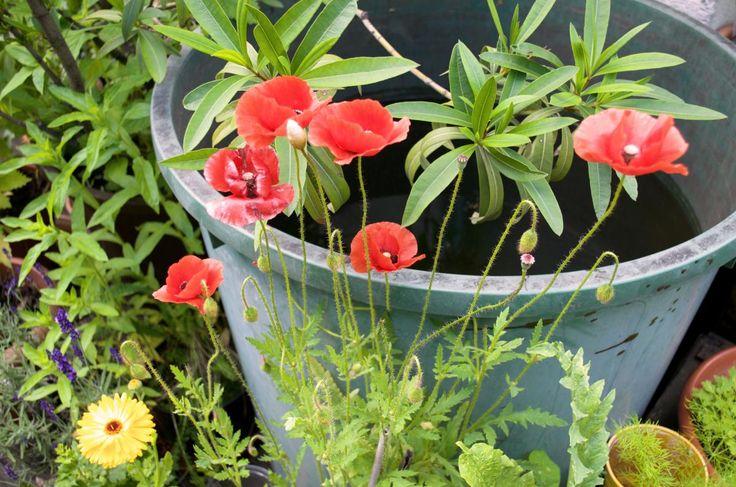 einjaehrige Sommerblumen fuer den Balkon