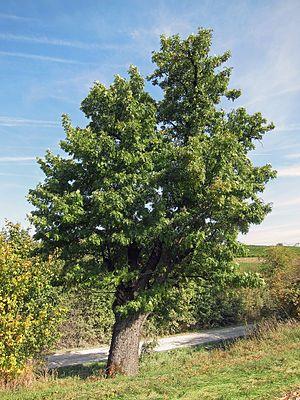 """#Speierling (Sorbus domestica) """"Der Speierling (Sorbus domestica L.) – regional auch Spierling,[1] Sperberbaum, Sperbelbaum, Sporapfel, Spierapfel, Spreigel genannt – ist ein Wildobstbaum aus der Familie der #Rosengewächse ( #Rosaceae ). Als Wildgehölz ist der Speierling eine der seltensten Baumarten in Deutschland und wurde hier wegen seines rückläufigen Bestandes 1993 zum Baum des Jahres gewählt."""""""