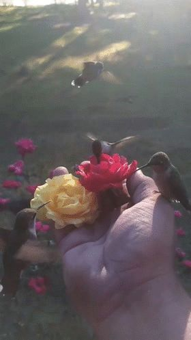 Hummingbirds going to flowers in someone's hand. Wow.