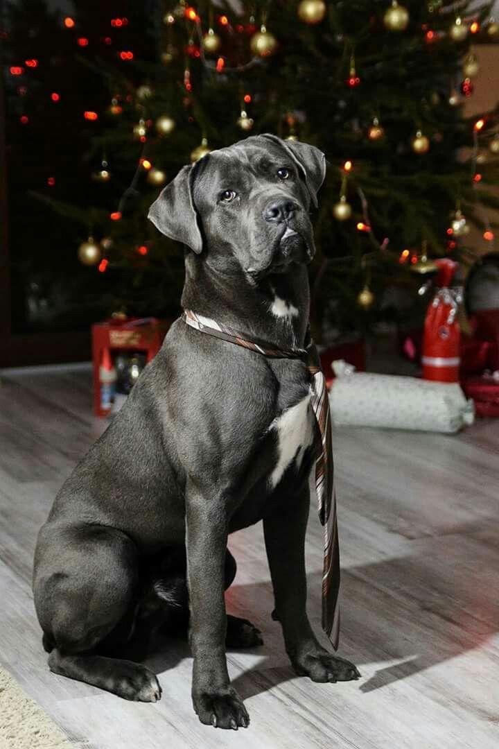 Christmas Cane Corso