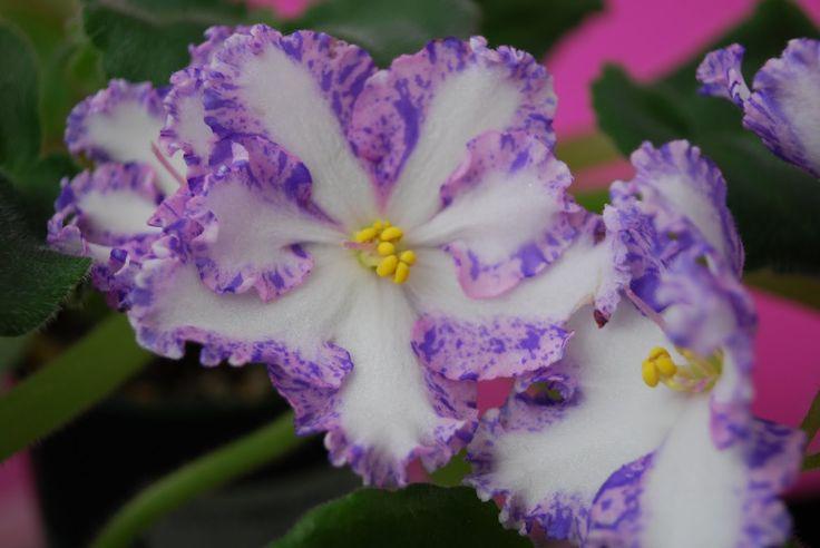 african violet flower pictures | African Violets (flowers)