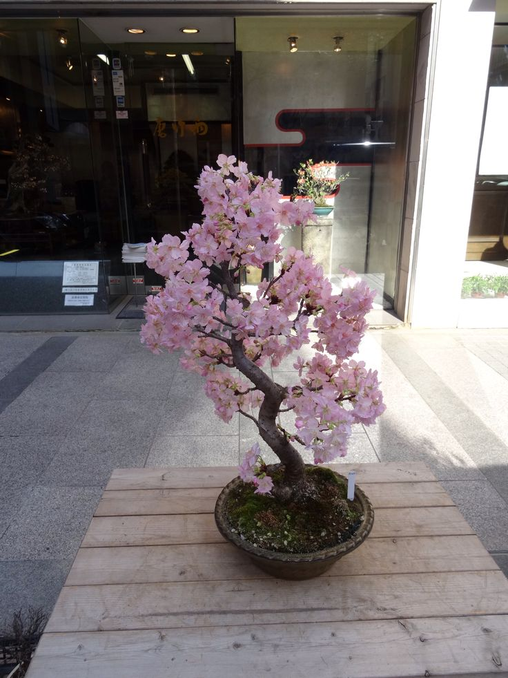 A Cherry Blossom bonsai tree in Tokyo in February 2014.  It has been tricked into thinking its spring.