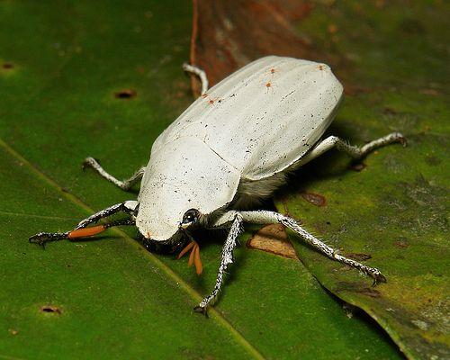 White Scarab Beetle (Cyphochilus insulanus, Melolonthinae)