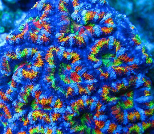 Cornbred's Tie Dye Acan Live Coral