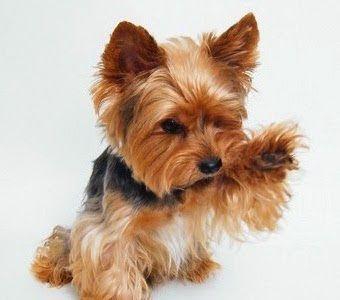 pes jorkšír - Hledat Googlem