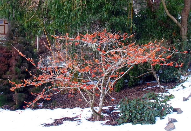 name that plant blog    hamamelis x jelena witch hazel picture by
