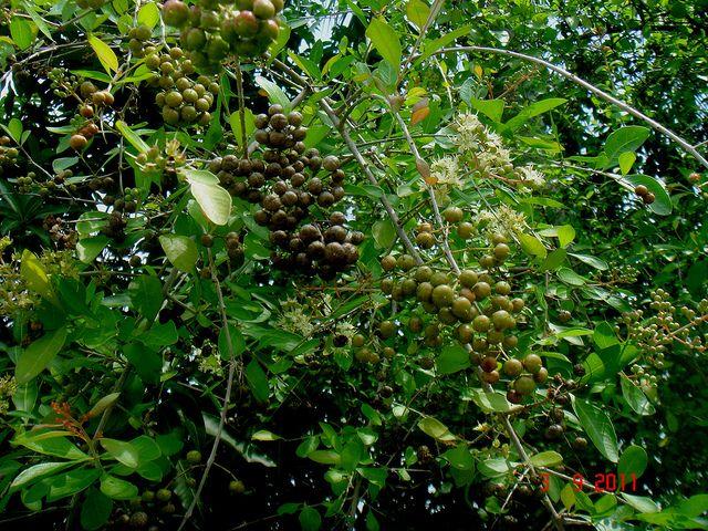 Henna (Lawsonia inermis L.) Song of Solomon 1:14