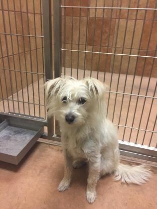 12/21/16-PHILADELPHIA, PA- ON DEATH ROW- WILL BE KILLED IN TWO DAYS!- ADORABLE TERRIER MIX- A YEAR AND A HALF OLD! SWEET, SWEET DOG!