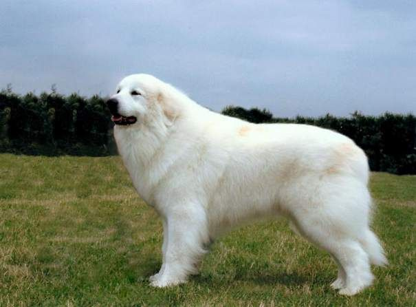 Great Pyrenean Mountain Dog | The Great Pyrenees is a really large dog breed mostly used as a livestock guardian dog. It was used by shepherds for hundreds of years around Pyrenees Mountains in France and Spain. These beautiful dogs are affectionate, gentle and confident. They are strong, protective and territorial, but when it comes to families, they are tolerant and patient. They are mostly independent and reserved to everyone. With their human friends they are loyal, fearless and…