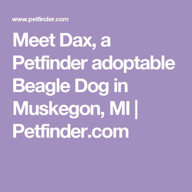 Meet Dax, a Petfinder adoptable Beagle Dog in Muskegon, MI | Petfinder.com