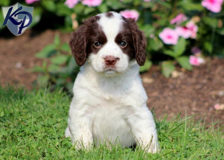 Didi English Springer Spaniel Puppies for Sale in PA