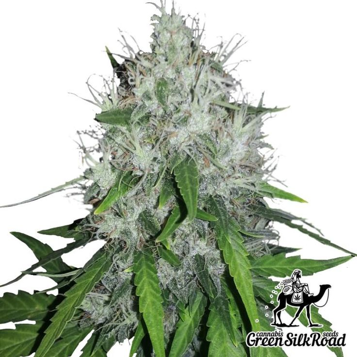 Amnesia Feminised surprises with its fantastic beauty and generous flowering, allowing to receive up to 150 m per one bush. During the flowering period its charming plants are covered with a thick layer of honey-sticky resin rich in THC, reaching 21%. The strain shows a vigorous growth pace, and in outdoor cultivation can easily reach 150 centimeters. A noble incense aroma coming form the bushes and a powerful cerebral effect will be an excellent bonus for the efforts spent for cultivation.
