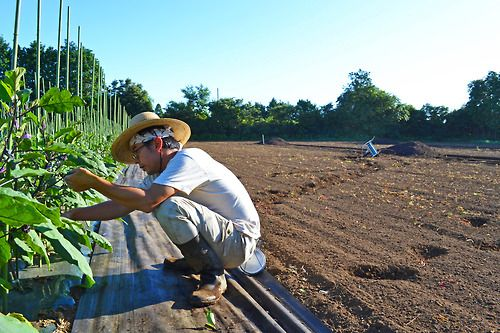 早朝からナスの収穫をしている溝口さん。  暑いこの時期の畑は早朝の作業が中心です。  溝口さんは朝4時頃から畑に出ています。  夏の爽やかな朝陽を背に受けながら、  野菜と虫と自然と対話する時間です。
