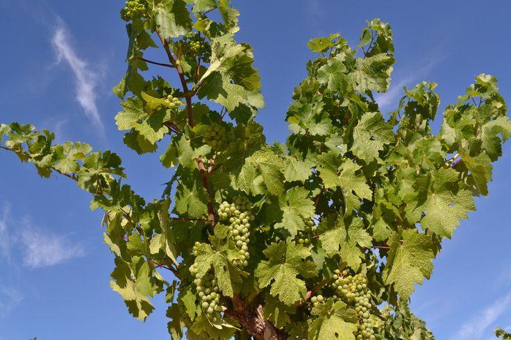 Viña en primavera. #Rioja #Wine #Lanciego