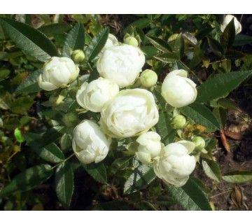 De Snovit roos is een prachtige heesterroos met gevulde witte bloemen. De roos blijft bijzonder mooi en blijft compact en kort.