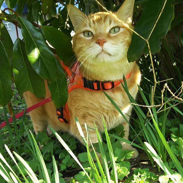 世界中の凛太朗ファンの方、そうじゃない方、#おはようございます #凛太朗です  僕は今、アマゾン川流域の民族の取材にきております! むむ! あっちから何か物音が!! お、お、おかーしゃん!!笑 #凛太朗 #愛猫 #cat #cats #catstagram #rinstagram #猫 #mix #デブ猫 #デブとは呼ばせない #茶トラ #茶トラ男子部 #茶トラ猫 #自宅警備員 #守るのは宅内のみ #外は範疇外 #ビビり #ビビ凛太朗 #しましましっぽ倶楽部 #イケにゃん #イケメン猫 #ジャングル #ジャングル大帝 #ジャングルリン #ただの草むら #散歩猫 #散歩