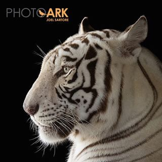 Website: National Geographic photographer and conservationist creating an online resource of photos of rare and endangered birds, insects, mammals, reptiles, amphibians, etc. Rajah, a male, white Bengal tiger at Alabama Gulf Coast Zoo.