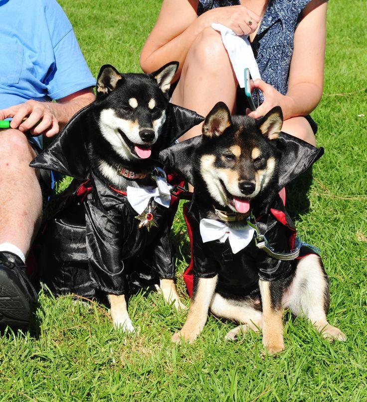 Doracula Shiba Puppies