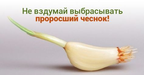 Никогда не выбрасывайте полежавший проросший чеснок. Это непростительная ошибка! В избранное http://bigl1fe.ru/2017/03/31/nikogda-ne-vybrasyvajte-polezhavshij-prorosshij-chesnok-eto-neprostitelnaya-oshibka-v-izbrannoe/