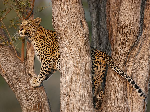Picture of leopard in a tree in Moremi Game Reserve, Botswana- Photograph by Theo Allofs, Corbis
