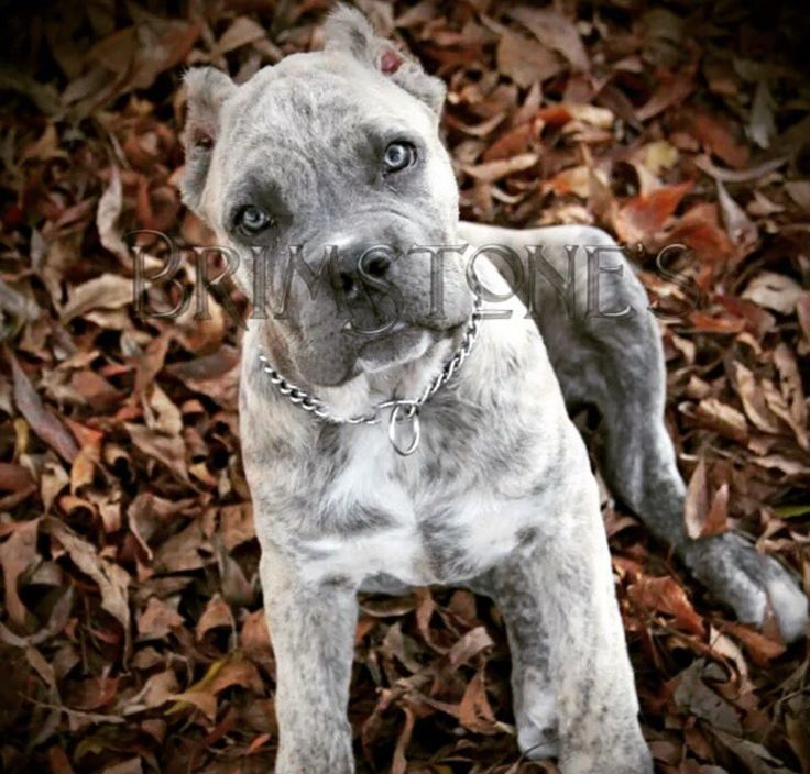 Cane Corso Puppy - I would name him Ghost. BEAUTIFUL!