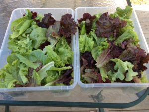 Produce for Sale | Homegrown Lettuce | Fresh | Yum!