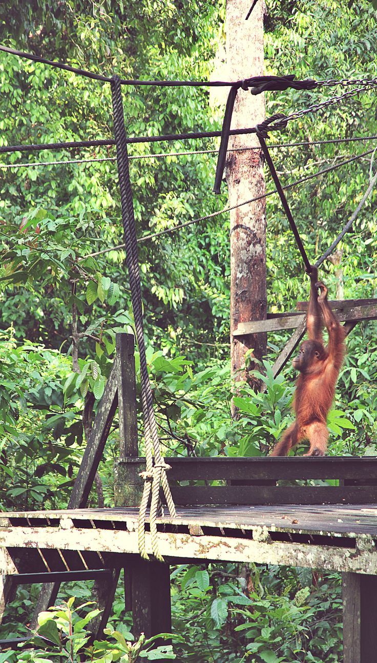 Sepilok Orangutan Rehabilitation Center in Sandakan, Malaysian Borneo