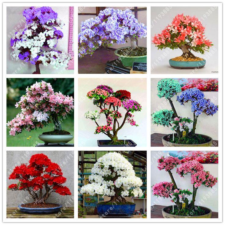 100 Pcs/bag Rare Bonsai  Azalea Seeds,rhododendron azalea Looks Like Sakura Japanese Cherry Blooms Sims Azalea Flower Seeds