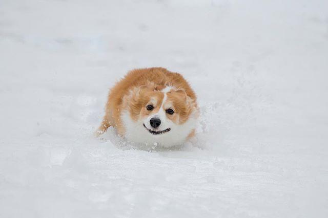 . あざらしっ?! ある大雪が降った日のアポロ。 2014年2月15日 撮影 . #dog #pembrokewelshcorgi #welshcorgi #corgi #dogstagram #corgistagram #snow #snowdog #seal #柯基 #柯基犬 #犬 #コーギー #あざらし #雪  #Apollo #Apollo0521 @megxg7 Instagram post - Instagir.com
