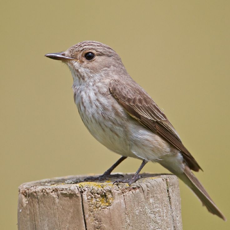 Spotted Flycatcher, Europe and  Western Asia