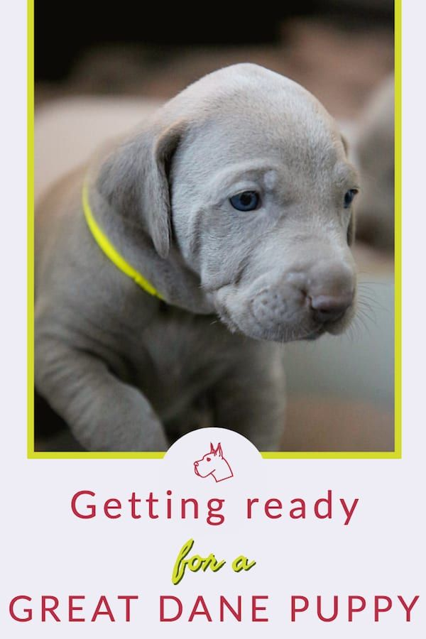 How To Get Ready For A Great Dane Puppy Great Dane Care Dane