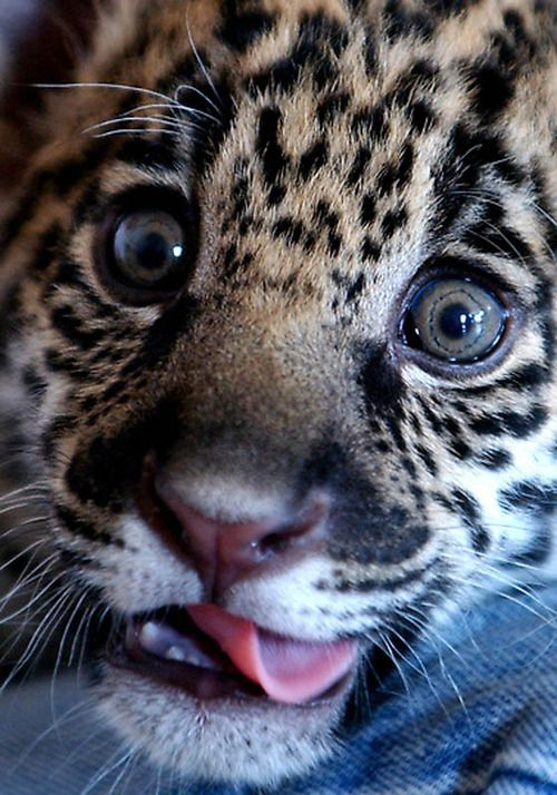 Speck,the Baby Jaguar by Thanassis Stavrakis.