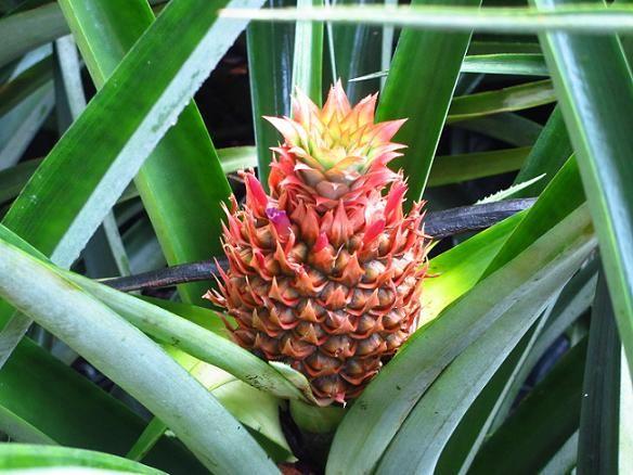 Pianta di Ananas.  Impossibile? NO! Compra un Ananas, mangialo e dallo scarto dai vita ad una nuova pianta! Facilissimo e molto bella.
