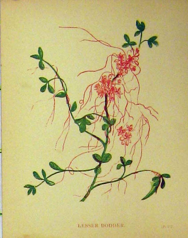[Print Lesser Dodder Plant C1880 Botanical Colour 104B315 Old Original]