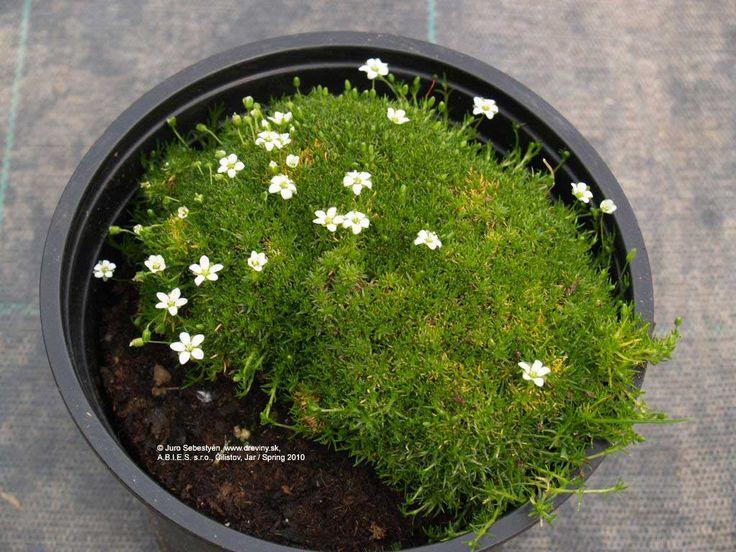 Irish Moss   Machovička šidlovitá (Trávnička)   Sagina subulata