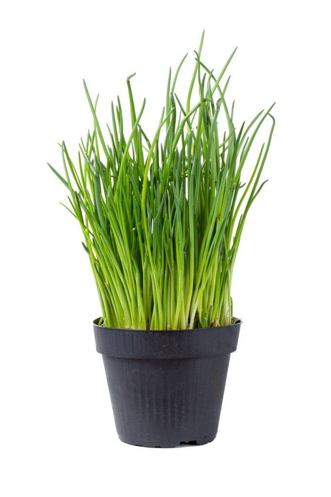 Nombre científico:  Allium schoenoprasum   Nombre común:  Cebollino, Ciboulette, Puerro-junco, Cebolleta, Cebollino francés, Ajo pardo, ...