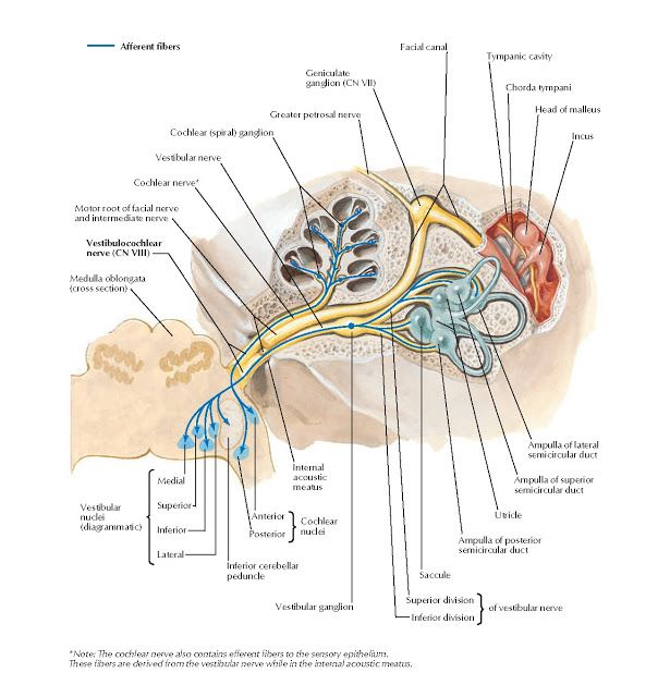 vestibularis condyle