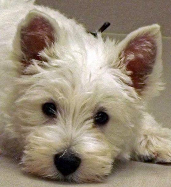 Harrods Dog Breed