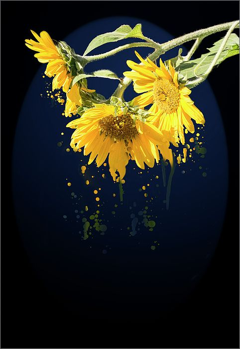 Sunflower Splash ArtThree blooming sunflowers hanging with their heads down with an artistic touch of the yellow petals that drip to the ground on black background and dark blue arch effect