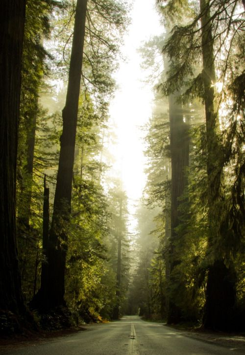 opticcultvre:    Lonely RedwoodsbyJustin Jones