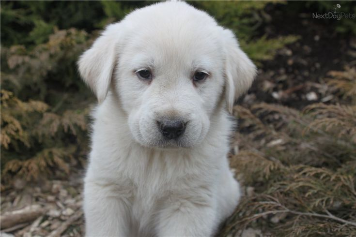 Great Pyrenees Dog pHOTO | ... Great Pyrenees puppy for sale for $425. lab-great pyrenees puppies